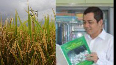 Photo of Peneliti Unsoed : Padi Sawah Protein Tinggi Unsoed,Lolos Sidang Pelepasan Varietas