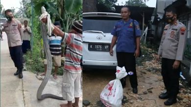 Photo of Warga Grobogan Digegerkan Penemuan King Cobra Sepanjang 4 Meter