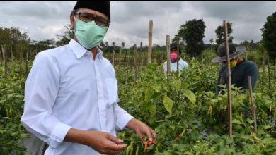 Photo of Bupati : Petani Pengecat Cabai Oknum tak Bertanggungjawab
