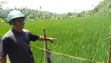Photo of Puluhan Ribu Hektar Padi di Banyumas Terancam Puso