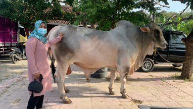 Photo of Sapi 1 Ton Milik Kades Inayah Dibeli Presiden Jokowi
